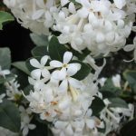 "Osmanthus ""Pearly Gates"""