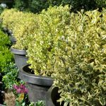 "Variegated English Box Topiary (Ball) 12"" Pot @ Hello Hello Plants"