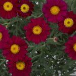 "Argyranthemum ""Starlight Red"""