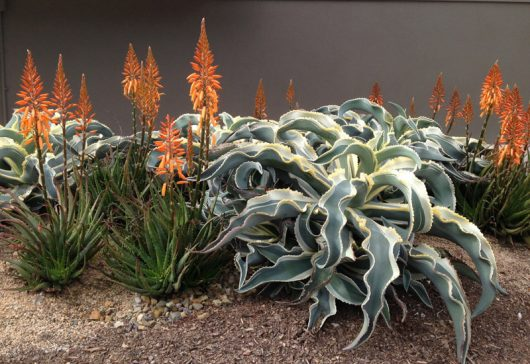 "Aloe Aloe ""Andreas Orange"""