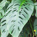 "Monstera ""Climbing Monstera"" @ Hello Hello Plants"