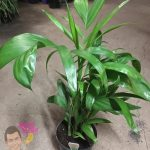 "Bamboo Palm 7"" Pot @ Hello Hello Plants"