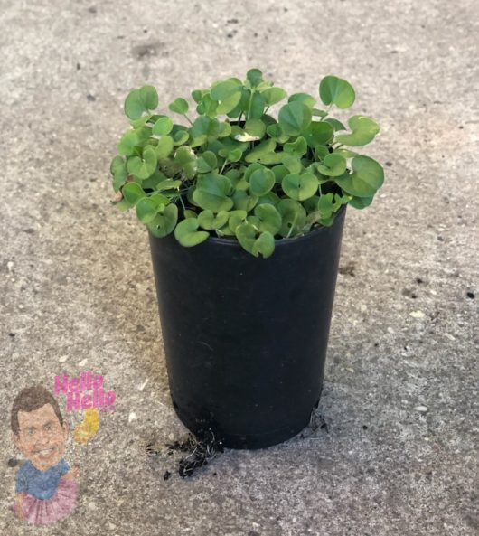"Dichondra Repens 3"" Pot @ Hello Hello Plants"