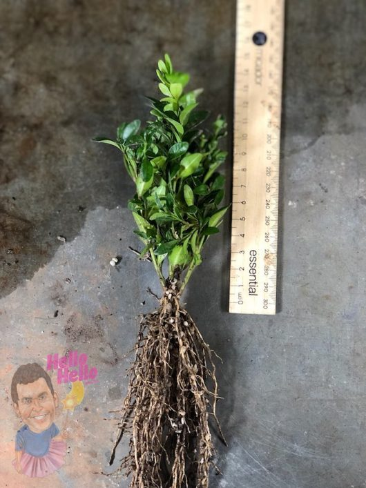 Bare Root English Box 10-15cm @ Hello Hello Plants