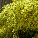 Acacia 'Gold Dust Wattle' @ Hello Hello Plants