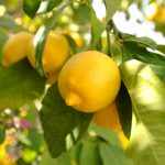 Lemon Tree Eureka @ Hello Hello Plants