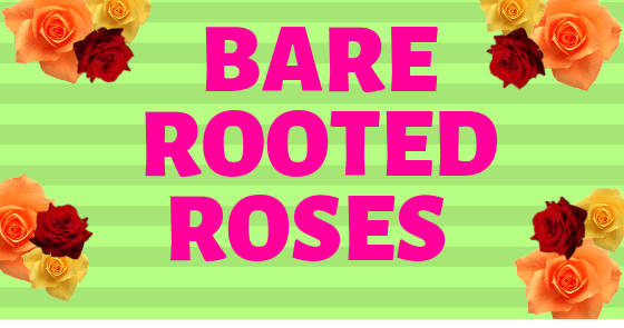 Bare Rooted Roses