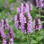 Nepeta 'Pink Cat' @ Hello Hello Plants