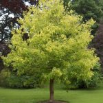Acer Maple 'Kelly's Gold' @ Hello Hello Plants