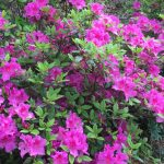 Azalea 'Autumn Royalty' @ Hello Hello Plants