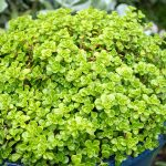 Sedum 'Green Blob' @ Hello Hello Plants