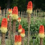 Kniphofia 'Red Hot Poker' @ Hello Hello Plants
