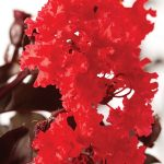 Crepe Myrtle Diamonds In The Dark 'Red Hot' @ Hello Hello Plants