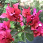Bougainvillea 'Temple Fire' @ Hello Hello Plants