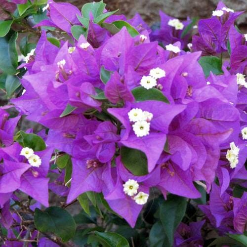 Bougainvillea 'Traillii' @ Hello Hello Plants
