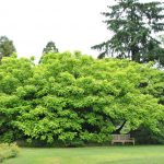 Catalpa 'Golden Indian Bean Tree' @ Hello Hello Plants