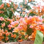 Bougainvillea 'Hawaiian Gold' @ Hello Hello Plants