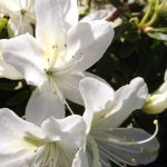 Azalea 'Mrs Kint White' @ Hello Hello Plants