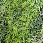 Acacia 'Green Wave' @ Hello Hello Plants