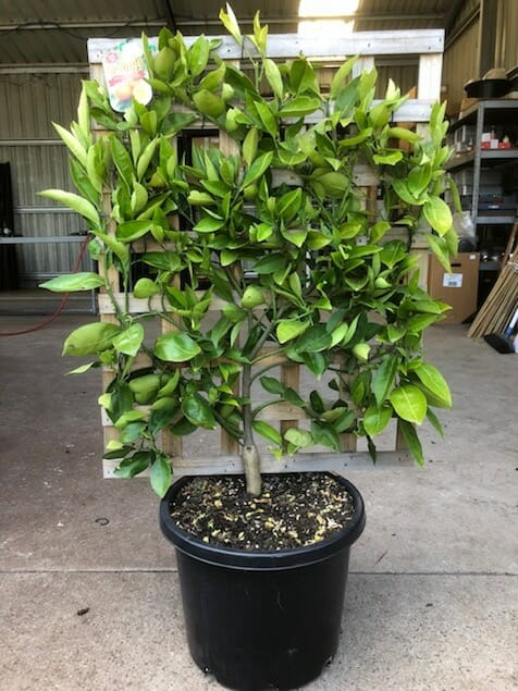 "Citrus Orange Espaliered 13"" Pot @ Hello Hello Plants"