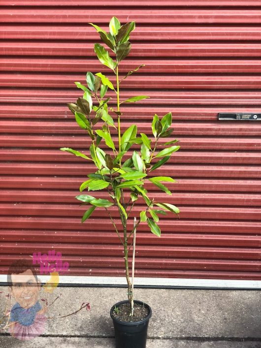 Magnolia 'Little Gem' 7 Pot (Economy Grade) @ Hello Hello Plants