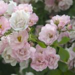Appleblossom Carpet Rose