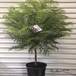 "Jacaranda Bonsai Blue 10"" Pot"