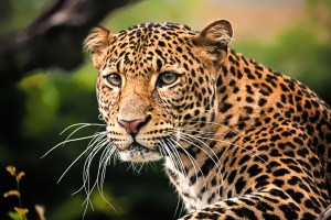 The Tale Of The Two-Faced Leopard