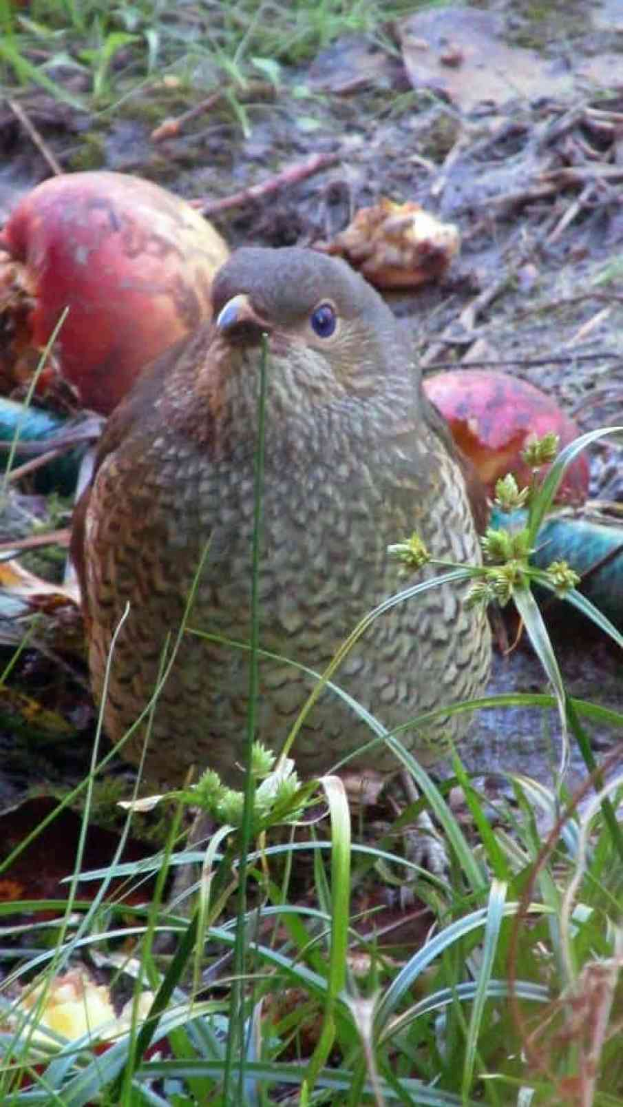 Young Satin Bower Bird - note the bright blue eyes.