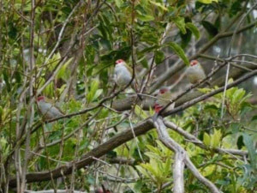 Firetail Finches 06/09/2015