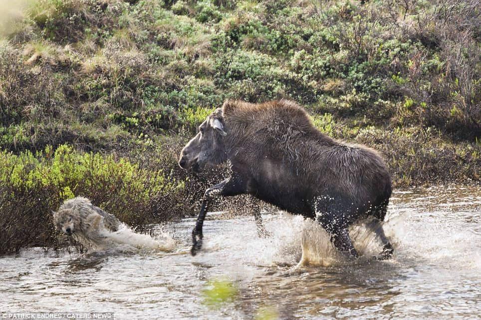 Moose versus Wolf.