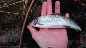A grayling from tehj Clyde