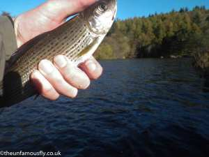 Wriggly grayling