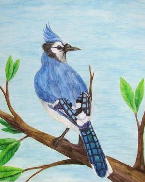 Blue Jay Poster of Watercolor Pencil Avian Totem Animal Fine Art