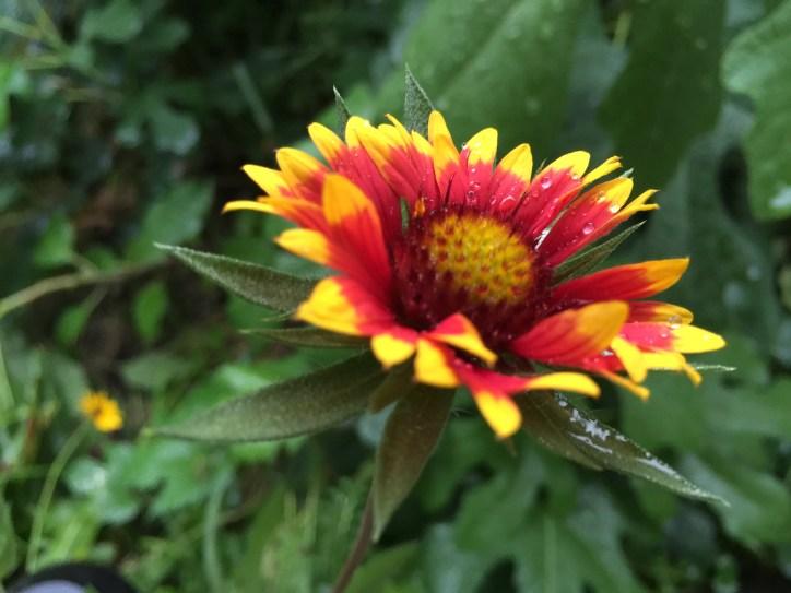 Wild flower perennial