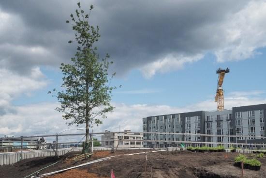 "The Garry Oak ""signature tree"" planted by WSDOT. (WSDOT)"