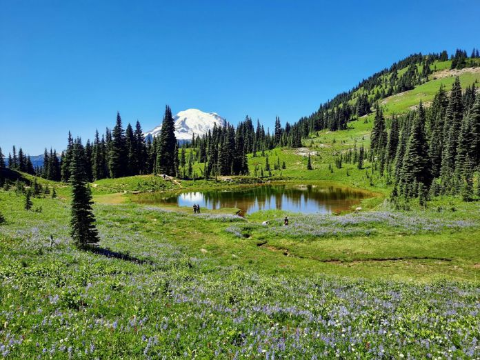 A field of light purple and red wildflowers with a pond and Mount Tahoma peaking above a row of trees in the background.