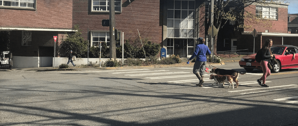 Pedestrian and dogs use a crosswalk in Sand Point while a convertible driver yields.