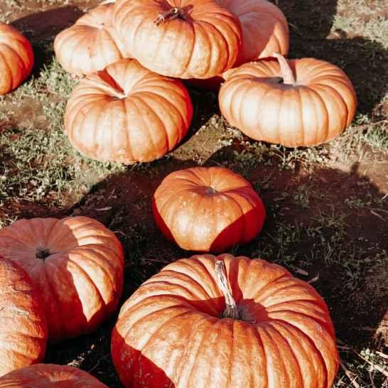 maan-farms-pumpkin-patch