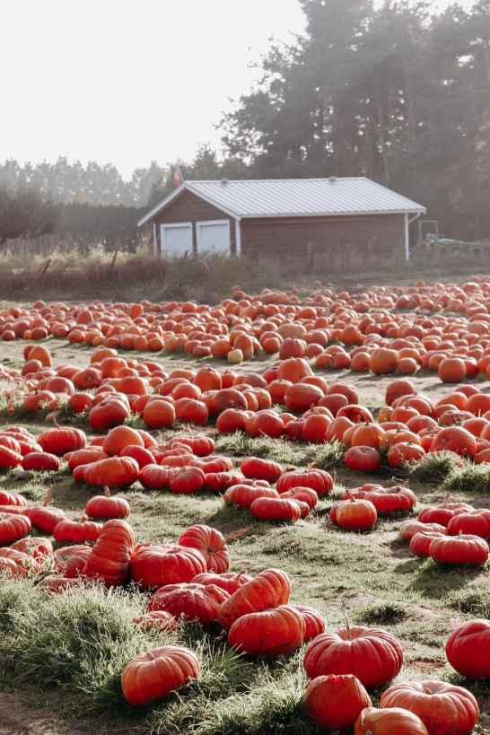 maan-farms-pumpkins-patch