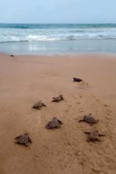 Loggerhead Sea Turtles, topsail Island, VRTG Gold Seal vacation rental Property