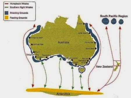 Whale Migrations Graphic