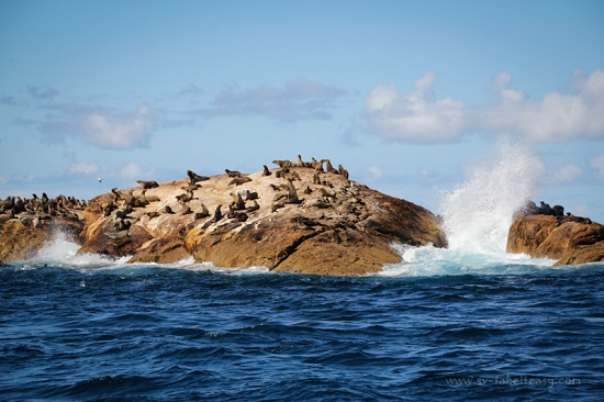 Seals-Bass Strait