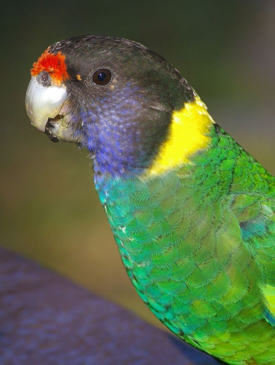 Towan - 28 Parrot - from Wikipedia
