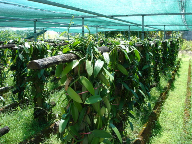 Vanilla cultivation CC BY-SA 1.0, https://commons.wikimedia.org/w/index.php?curid=25973