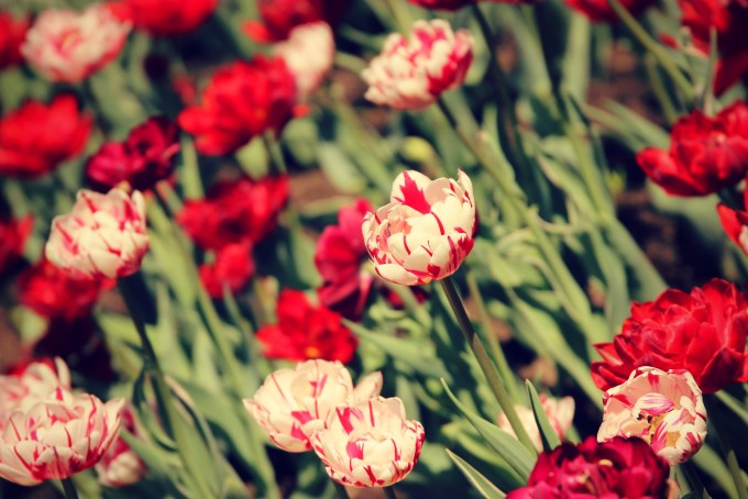 Tulips were seen blooming beautifully in every green speace