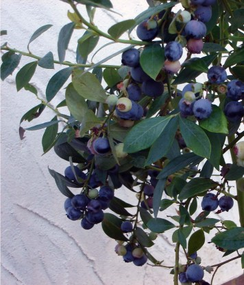 Sunshine Blue with fruit press