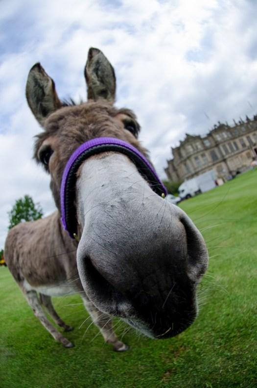 Donkey at Longleat (1328x2000)