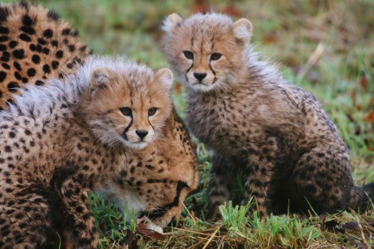 cheetah-cubs-winston-and-poppy-with-their-mum-wilma-in-their-outdoor-paddock-for-the-first-time-at-longleat-safari-park-pic-caleb-hall-3000x2000