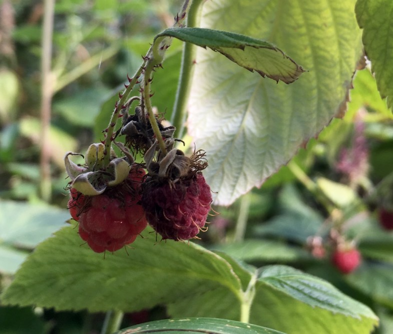 Eating wild raspberries for morning tea every day.